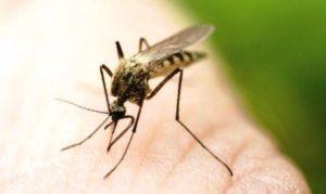 mosquito zika vírus