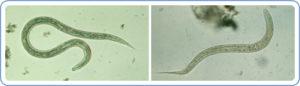 ancilostomídeos hookworm CDC