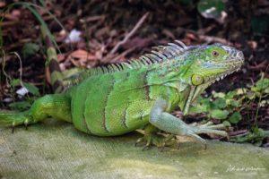 Comunidade em Palm Beach pode dar exemplo contra a invasão das iguanas