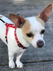 Brasileiros oferecem recompensa por cachorro perdido em Pompano Beach