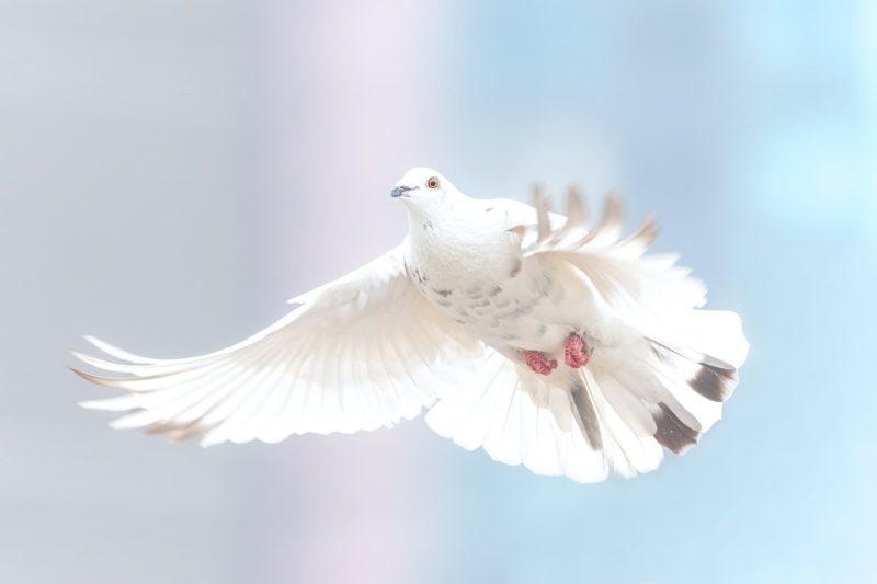 pomba da paz